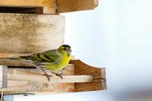 Male Eurasian Siskin Bird,blac...