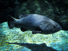 Giant Grouper Fish Swimming Marine Life Underwater Ocean Queensland Grouper