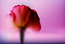 Precious Red Flower Tulip On A Blurred Gold Background Romantic Valentine's Day. Romantic Abstract Background.