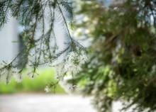 Tea Tree (Melaleuca) Blossomin...