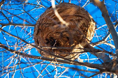 Fotografiet frelons asiatiques sur leur nid