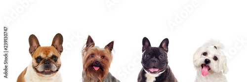 Poster Bouledogue français Differents dogs looking at camera