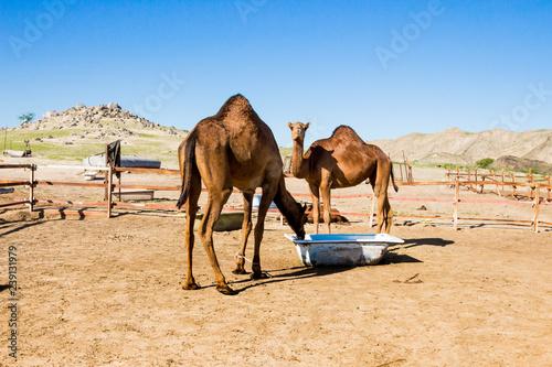 Spoed Foto op Canvas camels in desert
