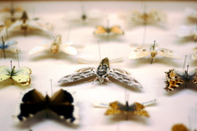Butterfly Collection. Privet H...