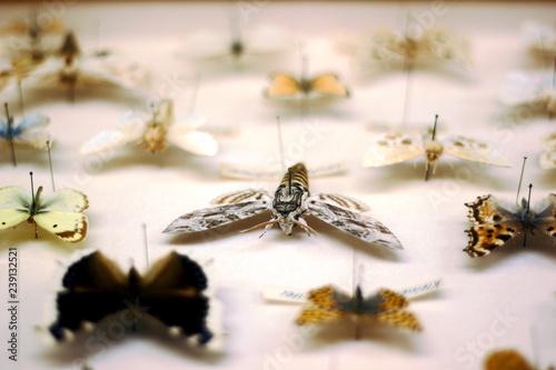 Fényképezés Butterfly collection. Privet hawk moth in focus.
