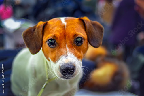 Fotografie, Obraz  Jack Russell Terrier dog portrait