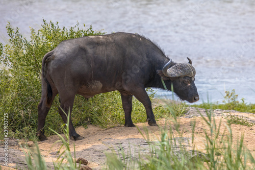 Photo Stands Buffalo African buffalo bull