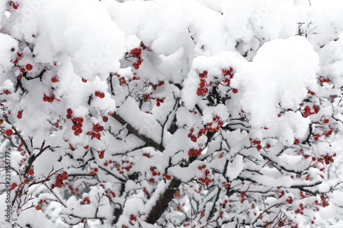 Fotografie, Obraz  Rowanberry tree under the snow. Winter snowy park.