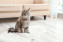 Adorable Maine Coon Cat On Fluffy Rug At Home. Space For Text
