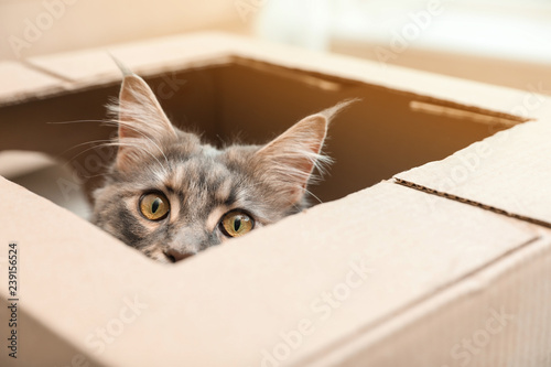 Papiers peints Chat Adorable Maine Coon cat looking out through hole in cardboard box at home