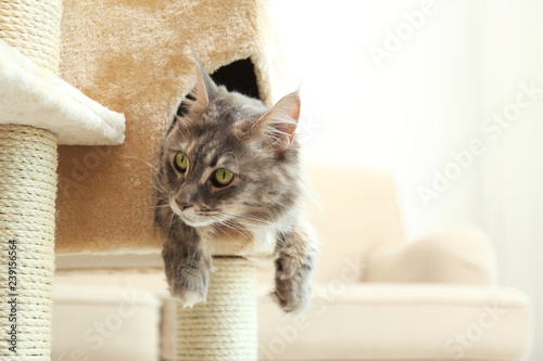 Obraz Adorable Maine Coon on cat tree at home. Space for text - fototapety do salonu