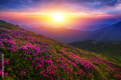 Foto auf Gartenposter Landschappen scenic summer dawn floral image, amazing mountains landscape with blooming pink flowers at morning sunrise, colorful nature background meadow scenery, Carpathians, Ukraine, Europe