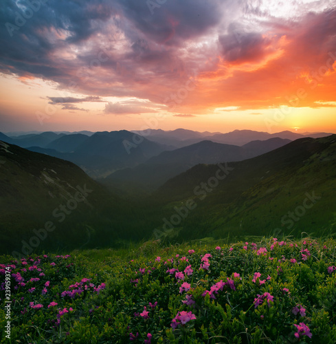 Obraz scenic summer dawn image, picturesque morning scenery, amazing blossom pink rhododendron flowers,  floral nature background - fototapety do salonu
