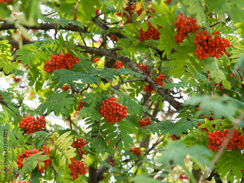 Photo Sorbus aucuparia (rowan or mountain-ash) tree with ornge berries growing on it
