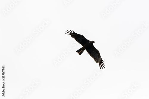 Photo Black Kite (Milvus migrans).