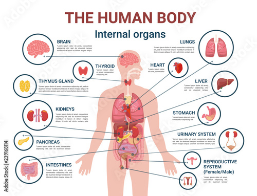 Fényképezés Human Body Internal Organs and Parts Info Poster
