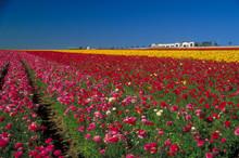 Carlsbad Flower Fields In San ...