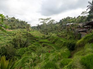 Fototapeta na wymiar Beautiful rice terraces in the light near Tegallalang village, Ubud, Bali, Indonesia. November, 2018