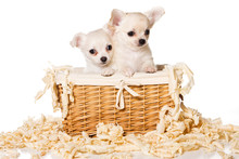 Two Puppies Of Chihuahua Dog I...