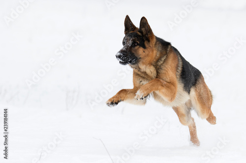 Fotografia german shepherd dog in winter