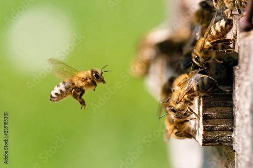 Printed kitchen splashbacks Bee Biene im Anflug