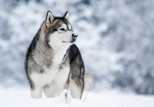 Alaskan Malamute Dog On A Winter Walk In The Snow