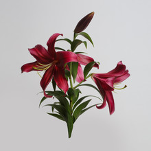 Branch Dark Pink Lily Isolated On A Gray Background.