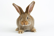Cute Young Grey Flemish Giant ...