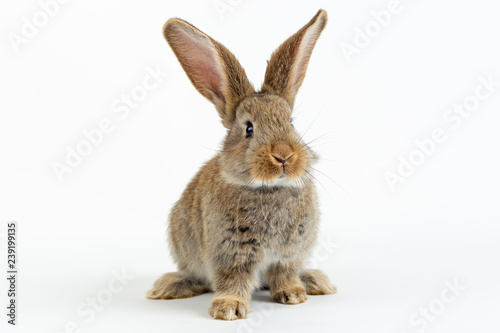 Foto Cute young grey Flemish Giant rabbit, isolated on white background