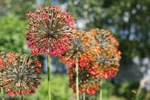 Allium Red In The Garden