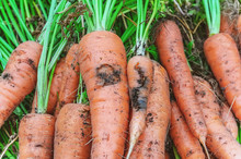 Damage To Carrots Caused By Th...