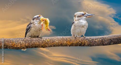 Kookaburra eating a whole chick head first Wallpaper Mural