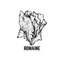 Vector Illustration Of Romaine...