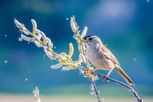 White Crowned Sparrow (Zonotrichia Leucophrys) Perched On A Branch, Eating Willow Catkin Seeds; Blurred Colorful Background; Willow Seeds Floating In The Air; San Francisco Bay Area, California