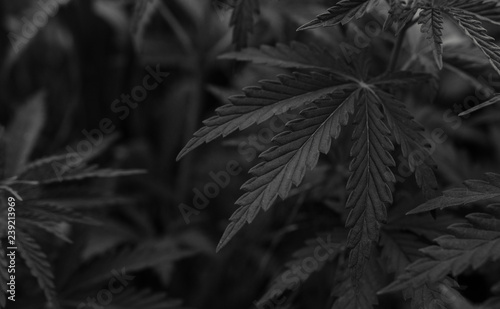 Photo  marijuana black background. bush cannabis.