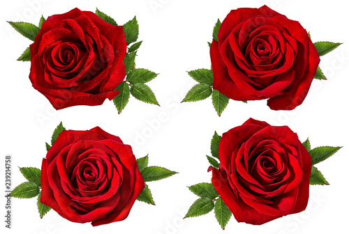 Cadres-photo bureau Roses Fresh beautiful rose isolated on white background with clipping path