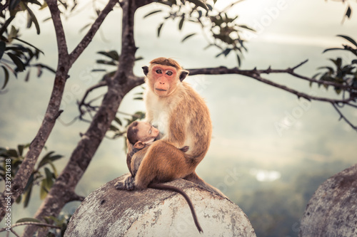 Monkey mother feeding her baby monkey in wild nature concept care in wild nature