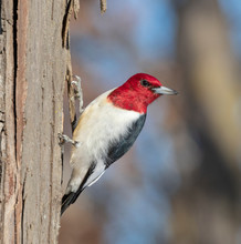 Red-headed Woodpecker (Melanerpes Erythrocephalus) Adult Looking Around, Iowa, USA