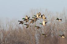 A Flock Of Mallard (Anas Platyrhynchos) Males Flying During Fall Migration, Iowa, USA