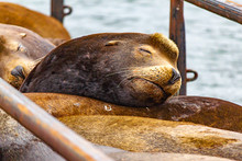 Brown Sealion Head Asleep On Its Group