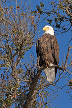 Bald Eagle On A Tree Branch Pe...