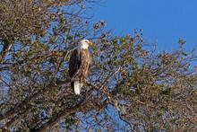 Bald Eagle Perch Along Lake Shore
