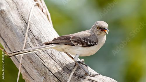 Photo Mocking Bird