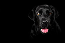 Black Labrador Studio Portrait...