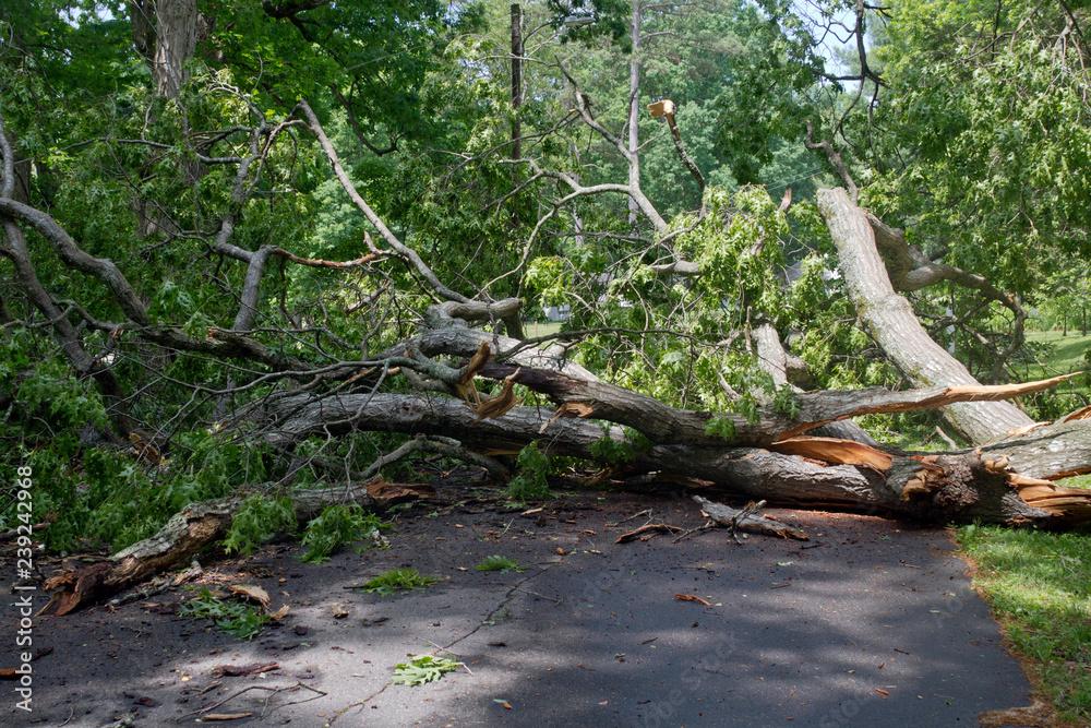 Huge Oak Tree Topples Across a Narrow Road