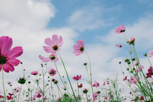 Cosmos Flower (Cosmos Bipinnatus) With Blurred Sky Background
