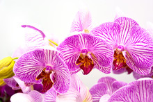 Close Up Of Purple Orchids, Be...