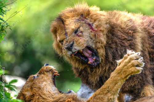 Fotobehang Leeuw incredible fight of two males lions