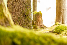 Deep Mossy Green Forground And Tree Trunks Of Summer Forest Behind