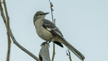 A Mocking Bird Perched On A Branch In Close Up.